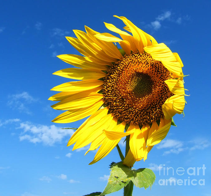 Sunflower blowing in the wind